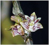 Dendrobium distichum
