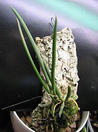 Oncidium stacyi
