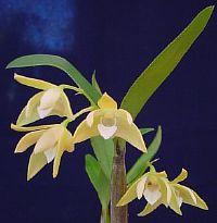 Dendrobium adae