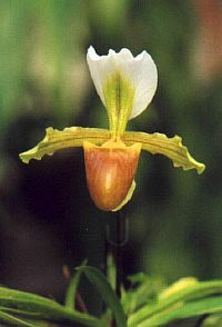 Paphiopedilum barbigerum