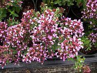 Origanum Papillon