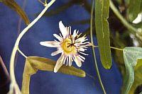 Passiflora Boomerang