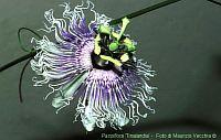 Passiflora Tinalandia