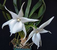 Angraecum Lemforde White Beauty