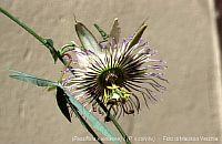Passiflora Spider