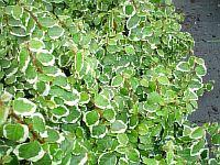 Ficus Pumilla