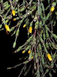 hatiora salicornoides