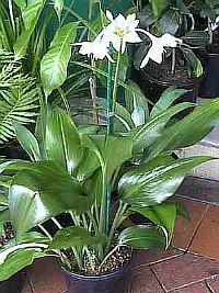 Как сажать цветок эухарис 4