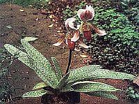 Paphiopedilum callosum