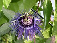Passiflora Blaumilch