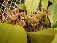 Bulbophyllum baileyi
