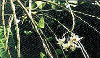 Dendrobium dixonianum