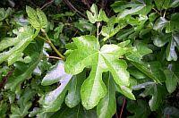 Ficus Сarica