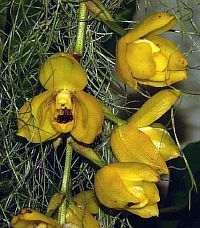 Acineta chrysantha