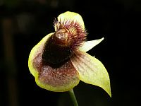 Telipogon biolleyi