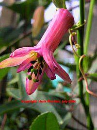 Passiflora Bicuspidata