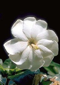 Gardenia Thunbergium