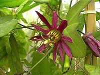 Passiflora Fledermouse