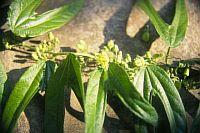 Passiflora Altebilobata