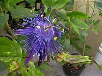 Passiflora Jelly Joker