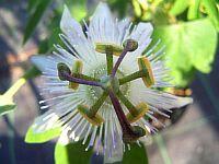 Passiflora Senta
