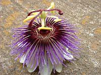 Passiflora Viola