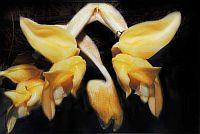 Stanhopea annulata