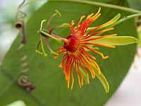 Passiflora Gilbertiana