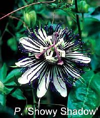 Passiflora Showy Shadow