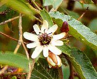 Passiflora Kalbreyeri