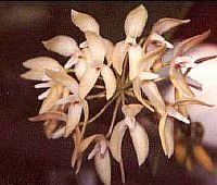 Bulbophyllum aureum