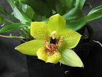 Promenaea crawshayana