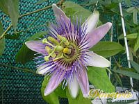 Passiflora Belotti