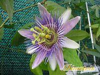 Passiflora Belotti