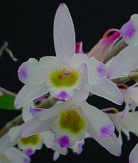 Dendrobium amoenum