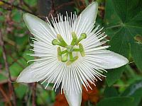 Passiflora White Star