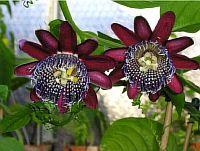 Passiflora Precisio