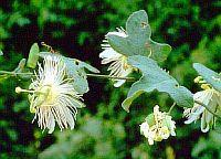 Passiflora Gardneri