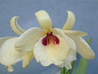 Dendrobium albosanguineum