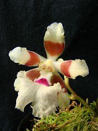 Trichocentrum pfavii