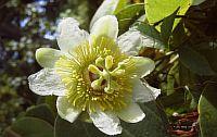 Passiflora Hahnii