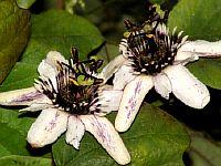 Passiflora Alnifolia