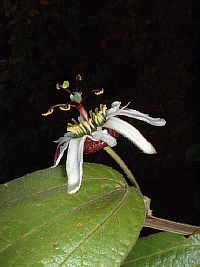 Passiflora bogotensis