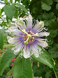 Passiflora Banshee