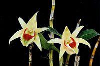 Dendrobium cruentum