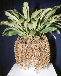 Cymbidium devonianum