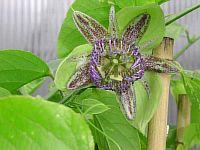 Passiflora maliformis