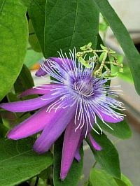 Passiflora Morning Star