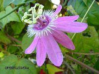 Passiflora Gizmo