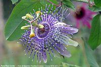 Passiflora Jutta